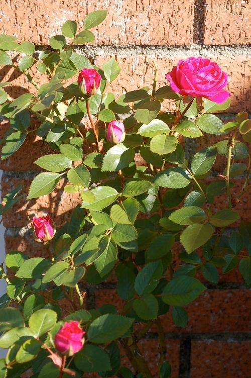 June's roses