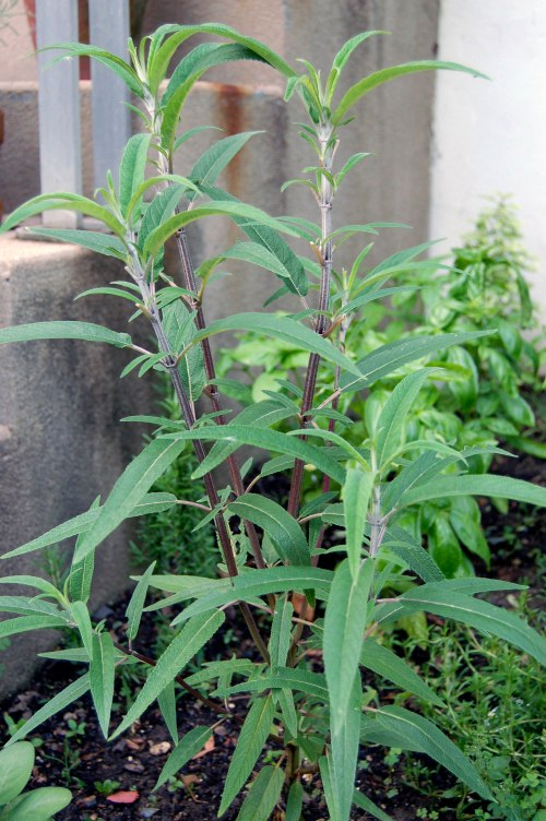 Mexican Bush Sage from my garden